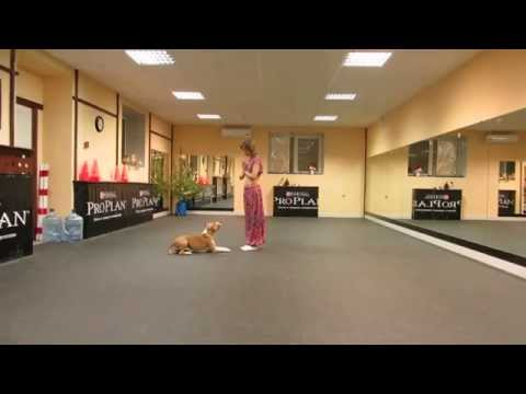 Pit Bull dançarina