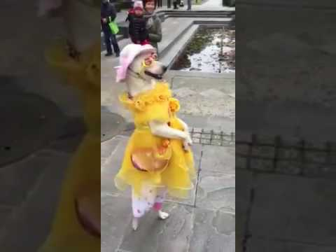 cadela dançarina