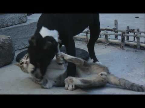 BULL TERRY vs CAT