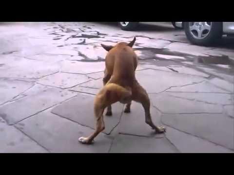 Cachorro dançando quadradinho de oito
